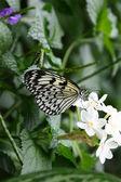 Bianca farfalla sul fiore bianco. — Foto Stock