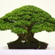 Banyan or ficus bonsai tree . — 图库照片