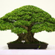 Banyan or ficus bonsai tree . - Stock Photo
