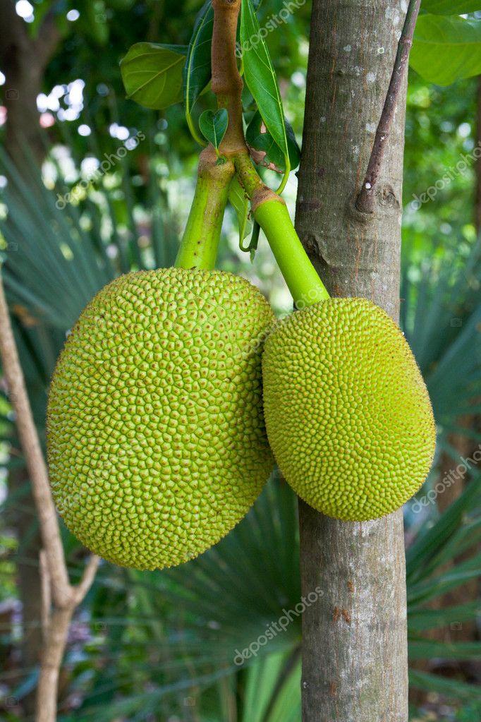 essay on jackfruit