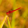 Stock Photo: Red dragonfly on green leaf