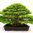 Stock Photo: Banyor ficus bonsai tree