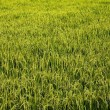 Stock Photo: Green Rice farm.