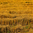 Post-harvest rice farms — Stockfoto #4812727