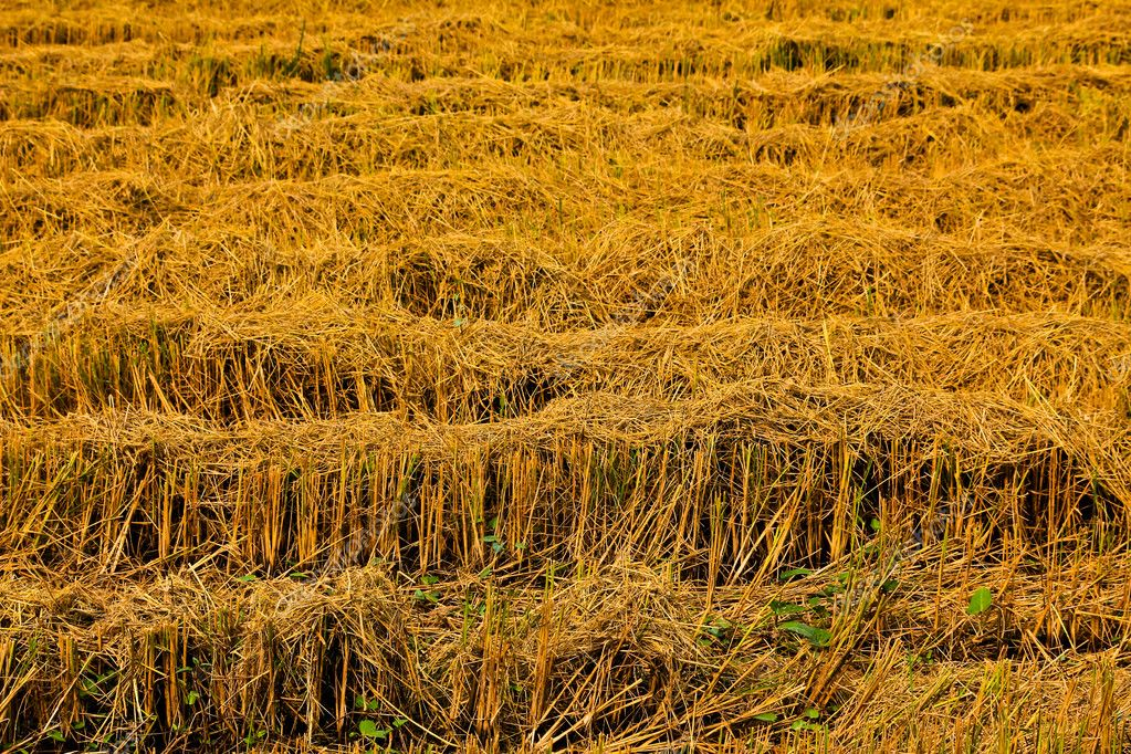 Post-harvest rice farms  Stock Photo #4812727