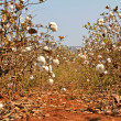 Cotton farms — Stockfoto #4931896