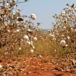 Stock Photo: Cotton farms