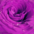 Royalty-Free Stock Photo: Violet rose