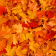 Autumn, maple leaves. — Stock Photo