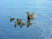 Mother duck with newborn duckling — Stock Photo