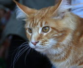 Cat Maine Coon — Stock Photo