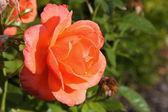 Roses yellow with orange — Stock Photo
