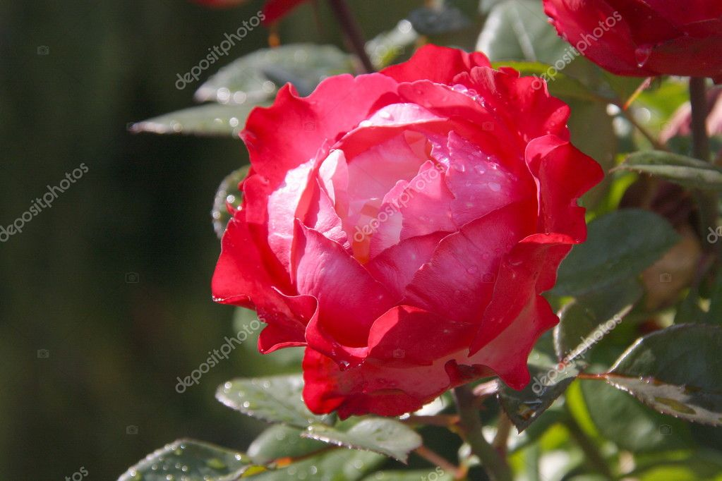Roses white with red flowerses beautiful  — Stock Photo #4920502