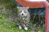 Gato perigoso — Foto Stock