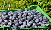 Picked Plums — Stock Photo