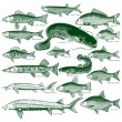 Fish freshwater vector 1 - Stock Vector