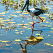 Stock Photo: Bird at kakadu national park