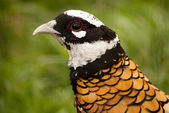 Reeves Pheasant — Stock Photo