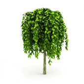 Light green tree with big leaves isolated — Stock Photo