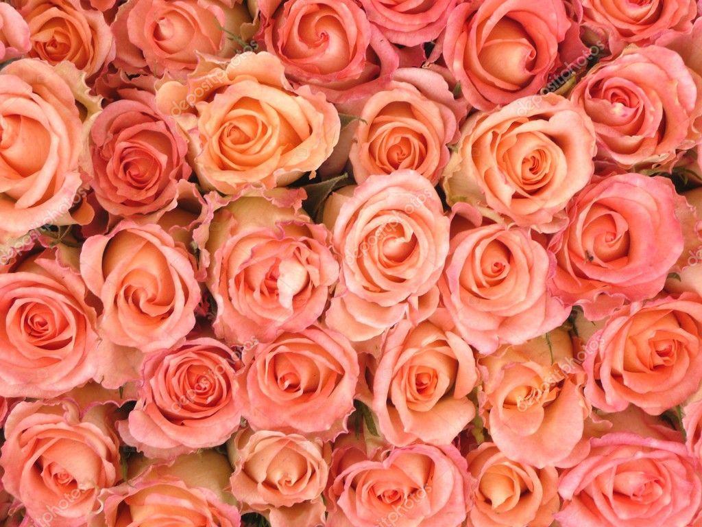pink roses stockfoto geronimo 4757434. Black Bedroom Furniture Sets. Home Design Ideas