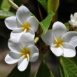 Stock Photo: Weiße plumeria