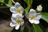 Weiße plumeria — Stock Photo
