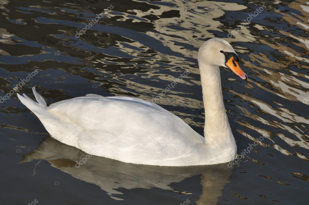 Schwimnmender Schwan auf dunklem Hintergrund  Stock Photo #4839308