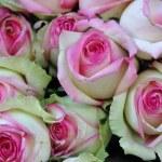 Rosa rosen — Zdjęcie stockowe