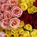 Rote, gelbe und rosa Rosen — Stock Photo