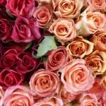 Rosa rosen — Stockfoto #4874426