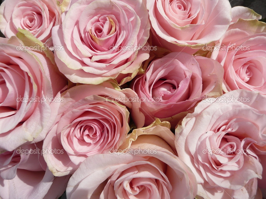rosa rosen stock photo geronimo 4874388. Black Bedroom Furniture Sets. Home Design Ideas