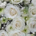 Weiße Rosen — Stockfoto