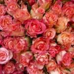 rosen Rosae — Foto Stock