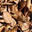 Brown leaves — Stock Photo
