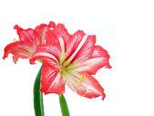 Hippeastrum flower — Stock Photo