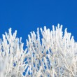 Rime on the branches of tree — Stock Photo