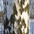 Texture of the birch trunk bark - Stock Photo