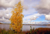 Birch gold — Stock Photo