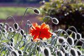 Poppies buds — Stock Photo