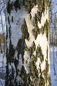 Texture of the birch trunk bark — Stock Photo