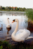 A pair of swans with broods — Stock Photo