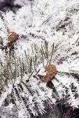 曇らされた松の枝と円錐形 — ストック写真