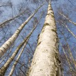Birch trunks — Stock Photo #5187126