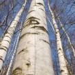 Birch trunks — Stock Photo #5187167