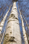 Birch trunks — Stock Photo