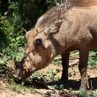 Bushpig — Stock Photo