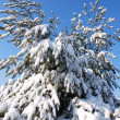 Winter pine branches — Stock Photo
