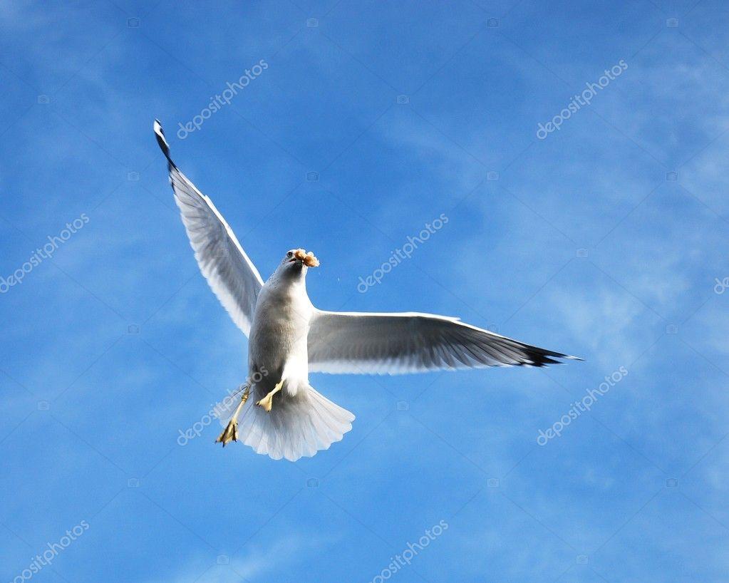海鸥飞翔蓝天– 图库图片