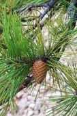 Pinecones — Stock Photo
