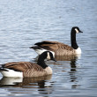Wild Geese — Stock Photo #4870703